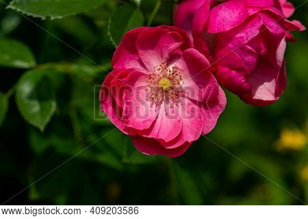 View Of Pink Rosa Canina Flowers In The Summer Garden. Photography Of Lively Nature.