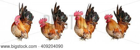 Rooster Chicken Isolated On White, Cock, Hen