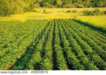 Potato Plants Grow In A Row. Lush Rural Field In Morning Light. Organic Crop Vegetation. Green Agric
