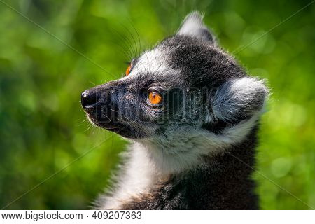 Portrait Of Ring-tailed Lemur Catta On The Green Background. Photography Of Lively Nature And Wildli