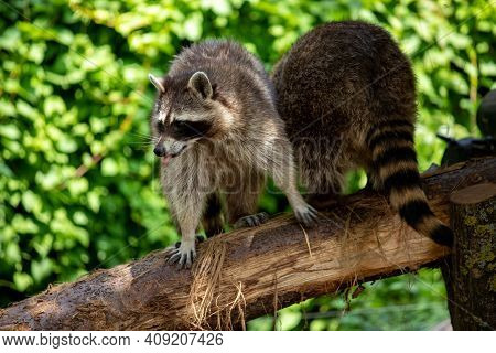 View Of Adult Common Raccoons On The Green Background. Photography Of Lively Nature And Wildlife.