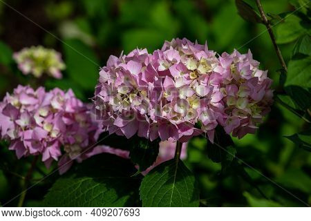 Portrait Of Pink Hortensia Flowers In The Summer Time Garden. Photography Of Lively Nature.
