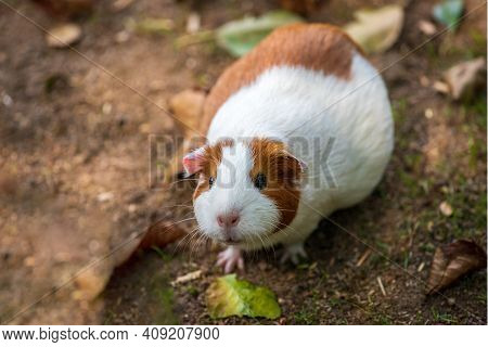 Full Body Of White-brown Domestic Guinea Pig (cavia Porcellus) Cavy In The Garden. Photography Of Na