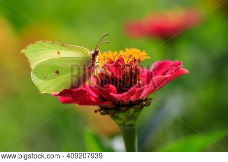 Close-up Of Butterfly Common Brimstone On The Red Flower. Photography Of Lively Nature And Wildlife.