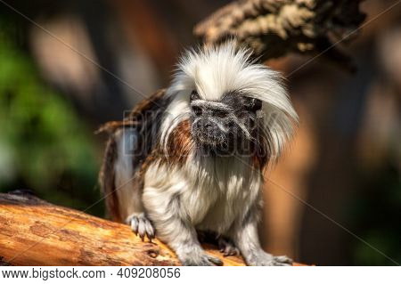 Portrait Of Male Adult Cotton-top Tamarin A Small New World Monkey On The Tree Trunk. Photography Of