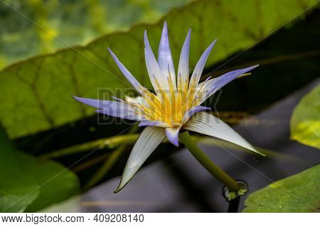 Portait Of Flowering Blue-white Nymphaea Water Lily. Photography Of Lively Nature.