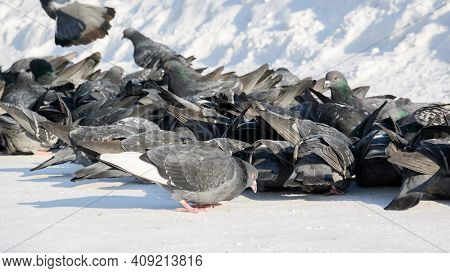 A Flock Of Urban Pigeons Pecks At The Food Scattered By People In The Snow. Selective Focus.