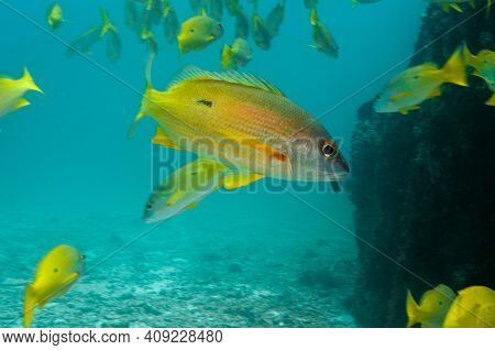 Underwater Sea Life, School Of Blackspot Snapper (lutjanus Fulviflamma), Seychelles