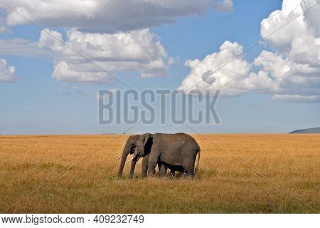 Elephant Couple Walking In The Savannah In Masai Mara National Park, Kenya