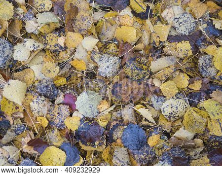 Colorful Autumn Fallen Wet Beech, Maple, Oak And Birch Tree Leaves On Forest Ground. Seasonal Natura