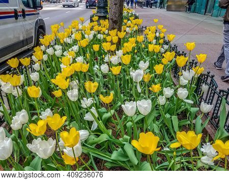 Chicago, Il May 9, 2019, White And Yellow Tulip Flowers In Full Bloom In Early Spring Along State St