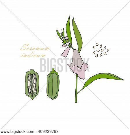 Sesame Plant Outline Sketch Colorful Art Design Stock Vector Illustration For Web, For Print