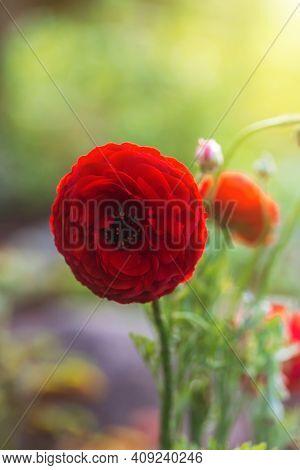 Beautiful Soft Tender Background. Red Ranunculus Flower Petals Close Up. Soft Floral Wallpaper. Flow