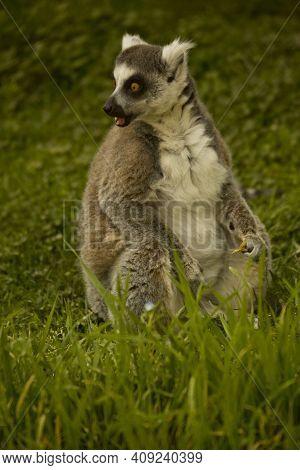 The Ring-tailed Lemur (lemur Catta) In Zoo.