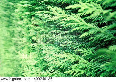 Closeup Of Green Thuja Occidentalis. Fresh Green Leaves, Branches Of Thuja Trees Close Up. Thuya Twi