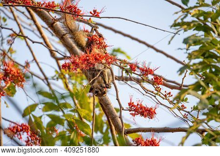 Close Up Squirrel Was Eating A Red Flower While Perching On A Branch