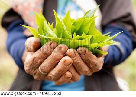 Top Tea Leaves, Natural Products, Are Ingredients In Making Beverages. Selected Fresh Tea Leaves In