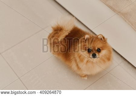 Small Puppy Of Pomeranian Dog Standing On The Floor And Looking In Front Of The Camera. Pomeranian S