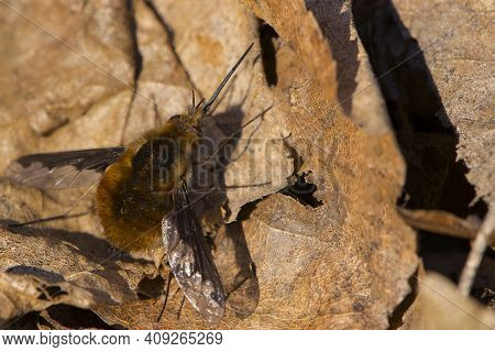 Bombyliidae. Buzzing Sits On Dry Leaves. One Of The Odd-balls Of Mother Nature, The Large Or The Dar