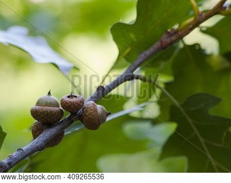 Branch With Green Oak Leaves And Acorns For Background. Oak Branch With Green Leaves And Acorns On A