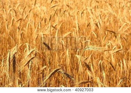 A Field Of Wheat On A Sunny Day.