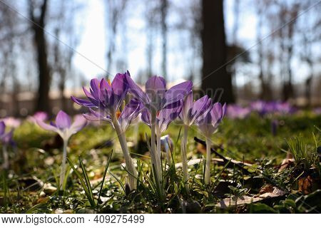 A Group Of Crocuses In The City Park