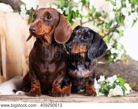group Dogs dachshunds and flowers spring jasmine, dog portrait