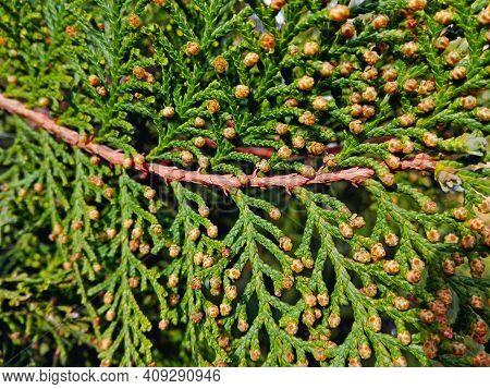 Cypress Cedar Tree Branch Close-up. Thuja Occidentalis Bush Is Evergreen Coniferous Tree In Cypress