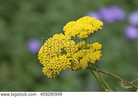 Common Yarrow Or Milfoil (achillea Millefolium) Flower Head. Yellow Achillea Millefolium Plant Or Ya