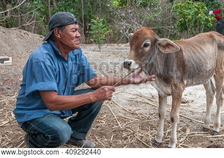 Rivas, Nicaragua. 07-15-2016. Farmer Caressing A Cow In An Rural Area Of Nicaragua. Families Rely On