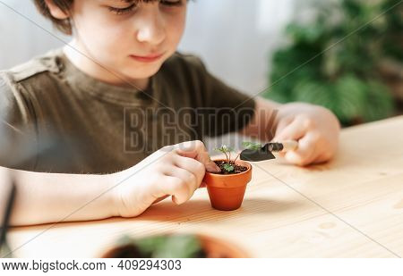 Child Kid Boy Gardener Taking Care And Transplanting Strawberries Sprout Plant Into A New Ceramic Po