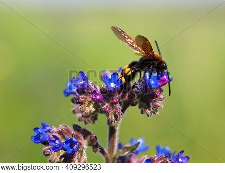Blue Flowers Of The Common Bugloss Or Alkanet, Anchusa Officinalis, And Mammoth Wasp On It, Megascol