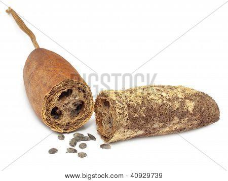 Natural scrubber of dried Ridge gourd