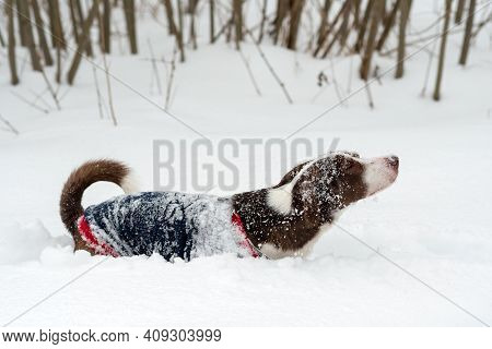 The Dog In The Jacket Stands In The Deep Snow. The Dog Defecates.