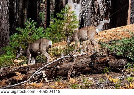 Herd of young deer. Sequoia Park in California, USA. Sequoia is a tree of the Cypress family. The natural range of the genus is the Pacific coast of North America.