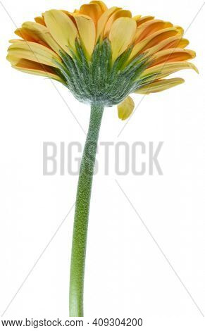 Vertical orange gerbera flower with long stem isolated over white background