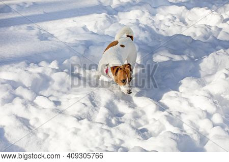 Jack Russell Terrier Looking For The Trail Of The Beast In The Snowdrifts In The Forest