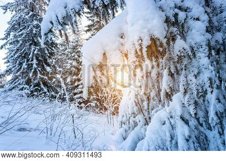 Winter Forest Landscape. Frost Nature Scene With Beautiful Snow, Morning Sun, Blue Sky. Snowy White
