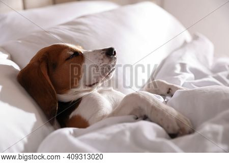 Cute Beagle Puppy Sleeping In Bed. Adorable Pet