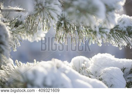 Snow-covered Pine Branches Close-up On A Sunny Winter Day. Winter Background. The Concept Of Sunny W