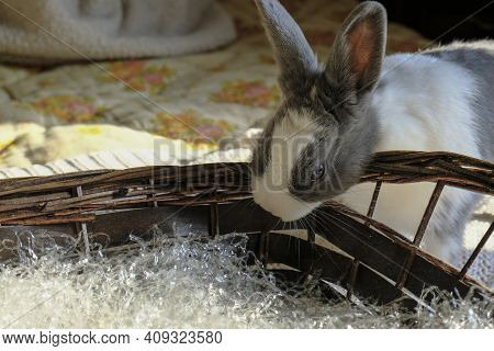 Adorable Gray And White Bunny Trying To Nibble Easter Straw Basket Close-up. Spring Bunny