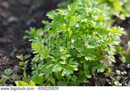 Spring Young Garden Parsley Growing On Soil. Flat Leaf Parsley In Garden Row In Spring. Sunlight.