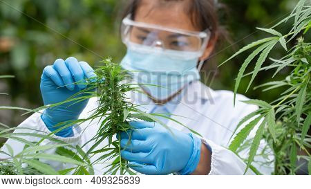 Scientist Analyzing And Researching Hemp Oil Extracts,  Concept Of Herbal Alternative Medicine, Cbd