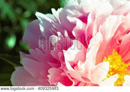 Pink Pion Petal Background. Peony Plant. Spring Flowers. Vintage Close Up.