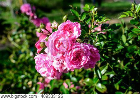 Many Large And Delicate Vivid Pink Roses In Full Bloom In A Summer Garden, In Direct Sunlight, With
