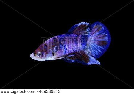 Multy Color Betta Fish,siamese Fighting Fish In Movement Isolated On Black Background. Capture The M