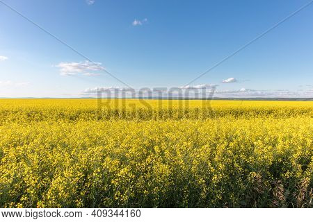 Oilseed Yellow Rapeseed Field And Blue Sky. Summer Landscape With Yellow Flowers