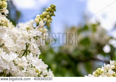 White Lilac. Spring Blooming Flowers Of White Lilac On Lilac Bushes Against Blue Sky With Copy Space
