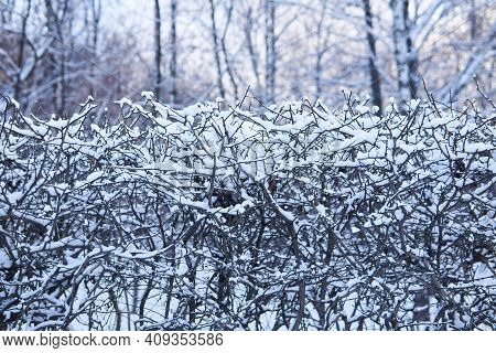 Snow-covered Bush Hedge In A Winter Park Close-up Against The Backdrop Of Trees And The Setting Sun