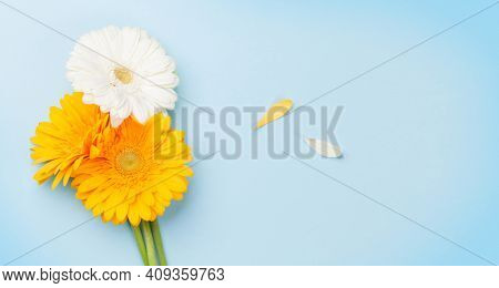 Colorful gerbera flowers and petals over blue background. Top view flat lay with copy space